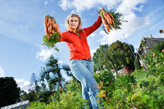 Picking organic carrots Royalty Free Stock Photos