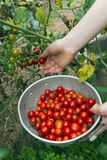 Picking Organic Cherry Tomatoes in a Summer Garden Royalty Free Stock Photos