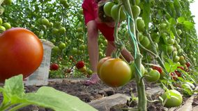 Picking organic tomatoes in a greenhouse stock video footage