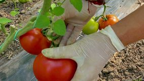Freshly picked organic tomatoes stock video footage