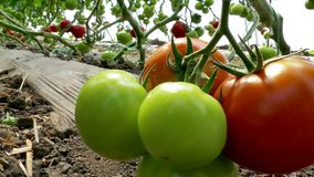Picking organically produced tomatoes stock video footage