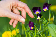 Picking pansies Royalty Free Stock Photos