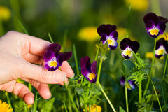 Picking pansies Stock Images
