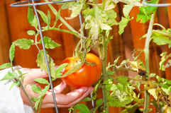 Picking patio tomato Royalty Free Stock Image