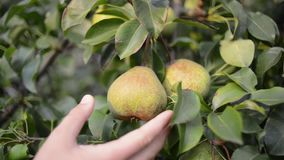 Picking pear fruit. Hand picking pear fruit from tree by summer evening stock video