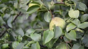 Picking pear fruits. Hand picking pear fruits from tree branch by summer evening stock footage