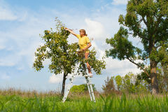 Picking of pears. Stock Photo