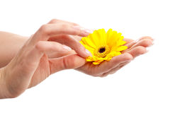 Picking the petals. Woman hand with long fingernails picking petals from a flower Royalty Free Stock Photo