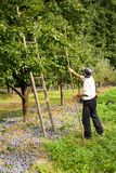 Picking plums. Senior farmer picking plums in an orchard Royalty Free Stock Images
