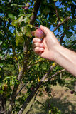 Picking plums from a tree Royalty Free Stock Photography