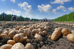 Picking potatoes on field Royalty Free Stock Photos
