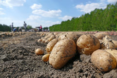 Picking potatoes on field Royalty Free Stock Photo
