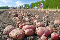 Picking potatoes on field Stock Photography