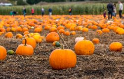 Picking pumpkins. Shallow focus on pumpkin patch as families pick pumpkins for Halloween Stock Photo