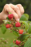 Picking raspberries Stock Photography