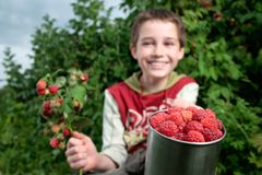 Picking raspberries Royalty Free Stock Photo