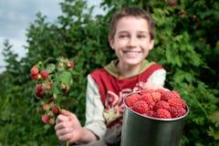 Free Picking Raspberries Royalty Free Stock Photo - 13969705