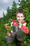 Picking Raspberries Stock Photos
