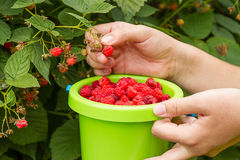 Picking of raspberries Royalty Free Stock Photo