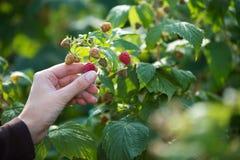Picking raspberries Stock Photos
