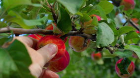 Picking red apple from a tree in summer. A Hand is picking a red Apple from a tree, close-up stock video footage