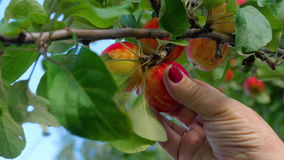 Picking red apple from a tree in summer. A Hand is picking a red Apple from a tree, close-up stock footage