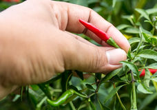 Picking red chili peppers in home garden Royalty Free Stock Photo