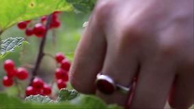 Picking red currants stock video