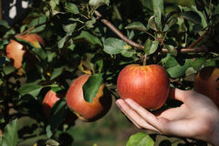 Picking a red ripe apple Stock Photography