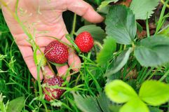 Picking red strawberries Stock Photo