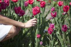 Picking a Red Tulip. A woman bending over to pick a red tulip in a tulip meadow Royalty Free Stock Photography