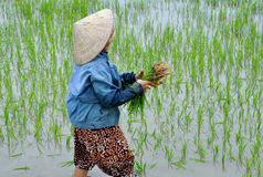 Picking  Rice Stock Images