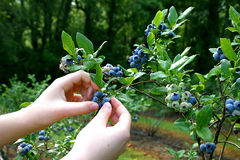 Picking Ripe Blueberries Stock Photo