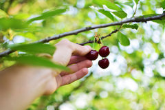 Picking ripe cherries. Picking ripe fruit in orchard Stock Image