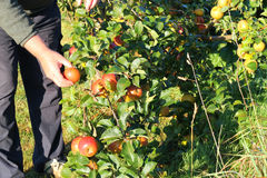 Picking ripe organic apples. Royalty Free Stock Photography