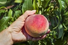 Picking a Ripe Peach Stock Image