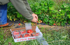 Picking Ripe Strawberries. Man in outdoor berry patch picking ripe red strawberries Royalty Free Stock Photography