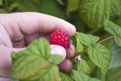 Picking Rubus idaeus Royalty Free Stock Photo