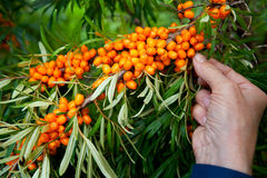 Picking sea-buckthorn berries Royalty Free Stock Images