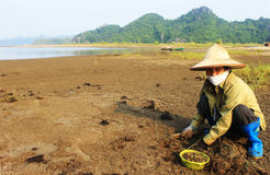 Picking seafood 4. Woman picking seafood in Halong bay, vietnam Royalty Free Stock Photo
