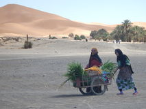 Picking season for dates in Merzouga desert Stock Image
