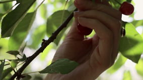 Picking sour cherries stock video footage