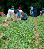Picking Spinach. Harvesting fresh greens at a community farm Stock Image