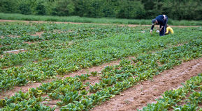 Picking Spinach. Harvesting fresh greens at a community farm Royalty Free Stock Photography