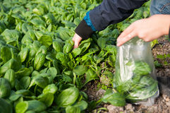 Picking spinach. Harvesting spinach from the plantation by hand royalty free stock images