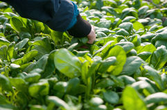 Picking spinach leaves Royalty Free Stock Photos
