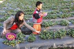 Picking strawberries stock photos