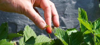 Picking strawberries Royalty Free Stock Photo