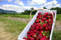 Picking strawberries Stock Image