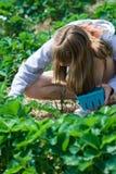 Picking Strawberries Royalty Free Stock Image